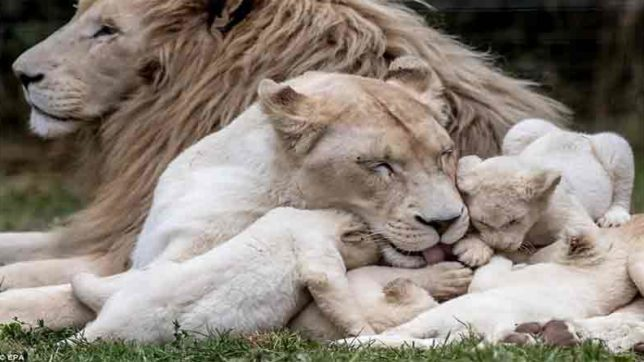Heart Touching Moment of White lions and their cubs Will amazed You