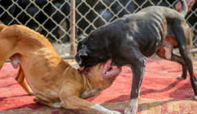Dog brutality on the rise! Betting on dog fights sees a spike in Punjab, Haryana and Delhi