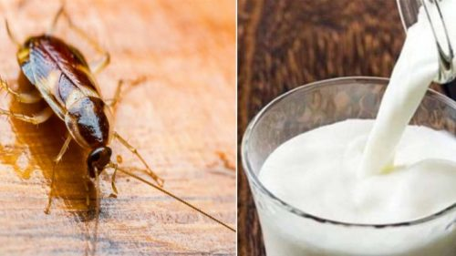 Cockroach Milk Health Benefits